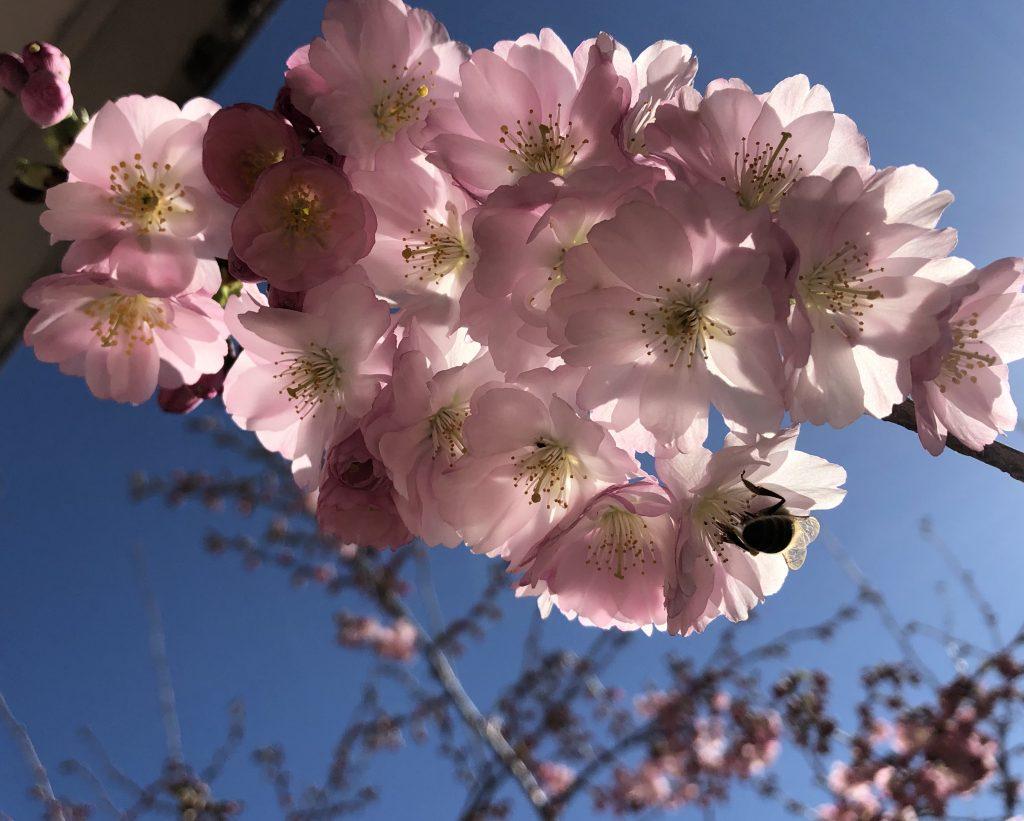 Biene in Kirschblüten im Sinne von ganzheitlicher Gesundheit. Yoga und gesunde Ernährung helfen gegen den Corona Virus. Nutze die natürlichen Antibiotika.